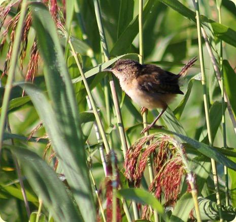 young marsh wren