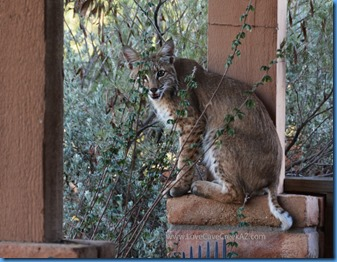 Bobcat-Love-Cave-Creek-AZ-d7100-695-psc