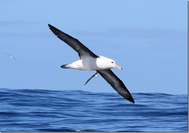 black-browed_albatross1