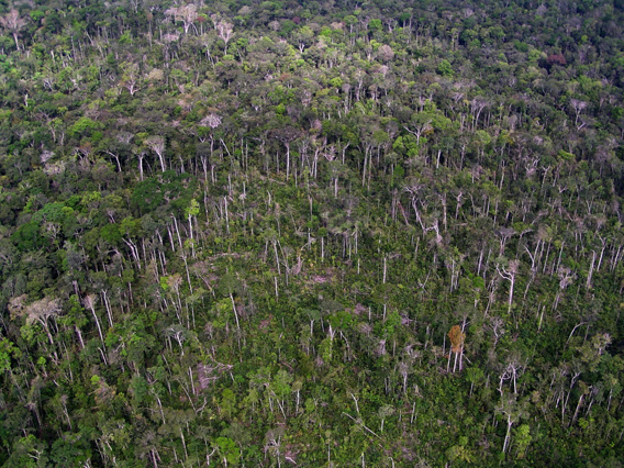 This image taken from a helicopter shows the same blowdown region a few years after the 2005 storm that killed trees near Manaus, Brazil. Regrowing vegetation has covered up most of the downed trees, but some tree stems are still visible. Photo: Chambers, et al., 2013