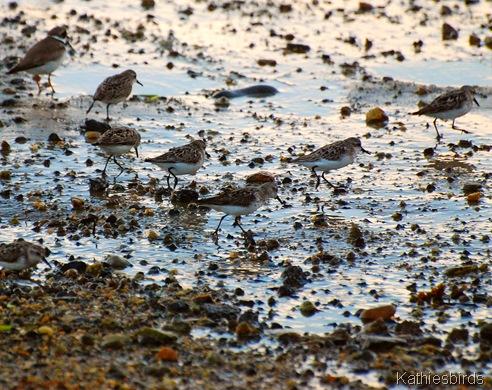7. sanderling-kab