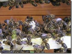 včely na květu a matečniky 008