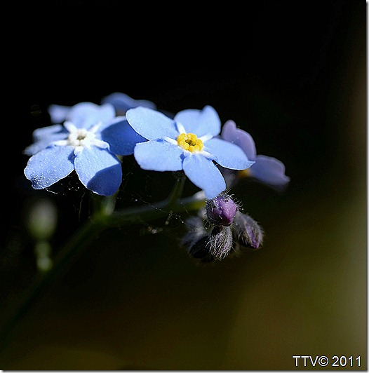 kukkia hyttynen mato 019