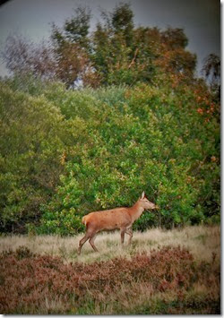 red deer hind chasewater