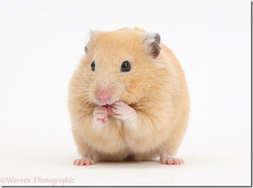 hamster grande imagen (16)
