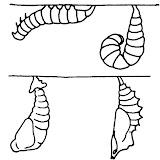 larva%2520a%2520pupa.jpg