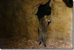 Fishing Cat, Taronga Zoo