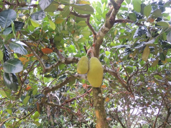 Small Jackfruit