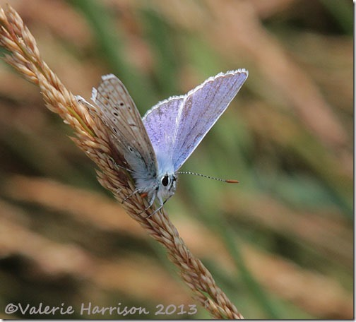 19-common-blue