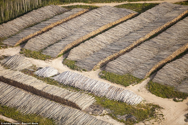 Aerial view of stacks of Boreal forest trees that were cut to make way for the Alberta Tar Sands mine, 17 October 2012. Ashley Cooper