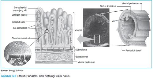 Struktur anatomi usus halus
