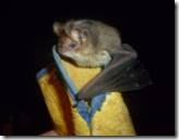 This bat came into a Walkerville house