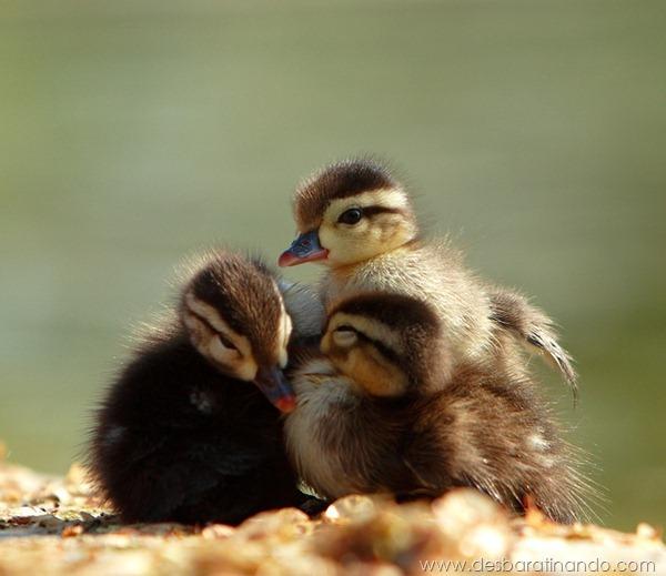 filhotes-patos-fofos-pequenos-desbaratinando (11)