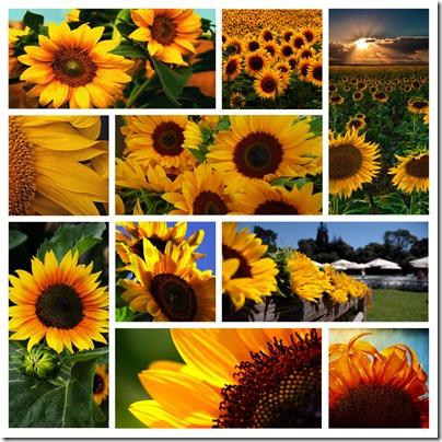 week 29 - sunflowers copy
