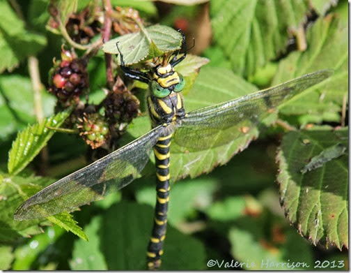 37-golden-ringed-dragonfly