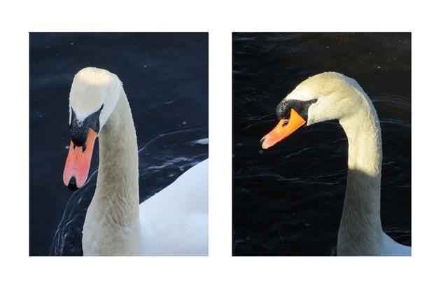 swan-head