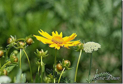 Adena_Yellow