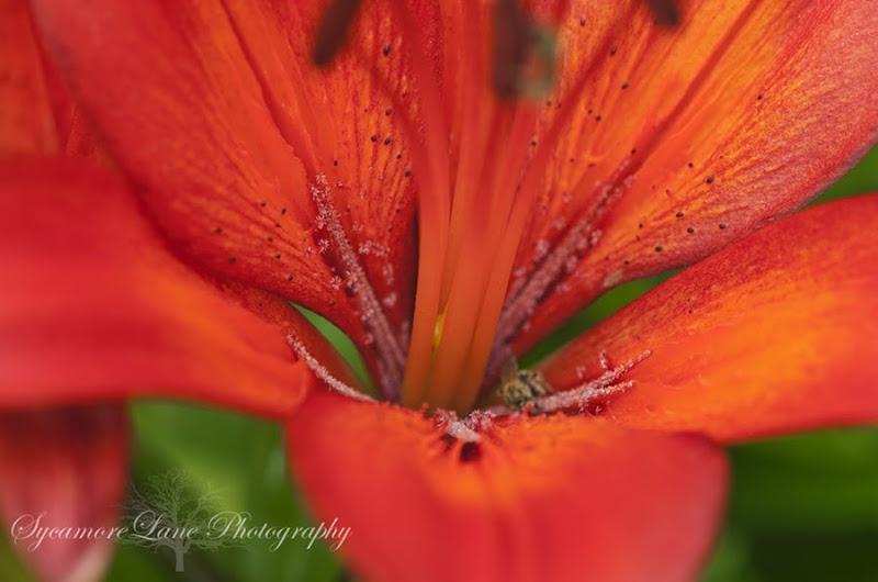Lily-SycamoreLane Photography