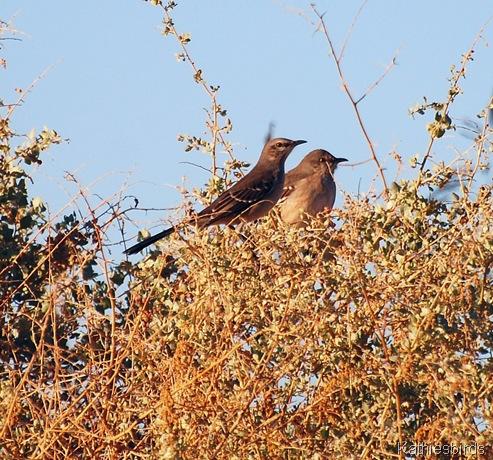 4. mockingbirds-kab