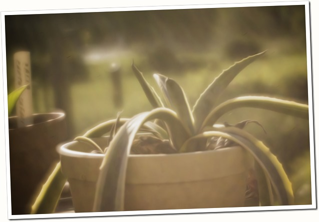 yucca in morning light