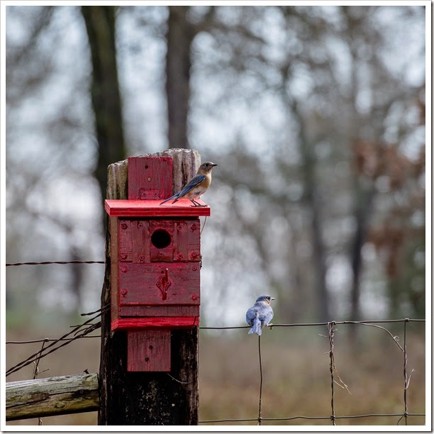 Bluebirds-1-12