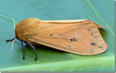 Isabella Tiger Moth (Pyrrharctia isabella)  (1)