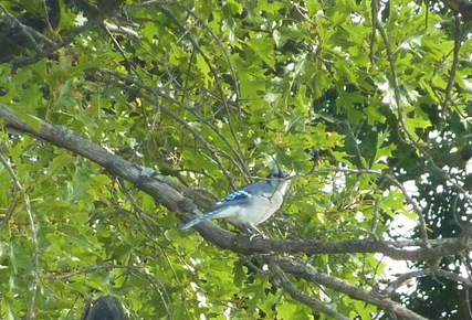 Blue Jay at Derge Sept. 14, 2011
