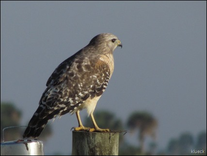 Red Shouldered Hawk on Prairie