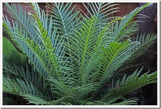110707_frontyard_blechnum_gibbum