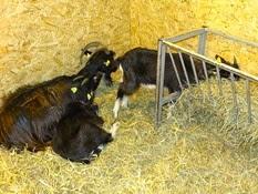 2015.02.26-005 chèvre poitevine
