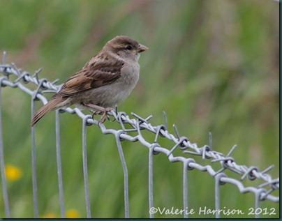1-sparrow