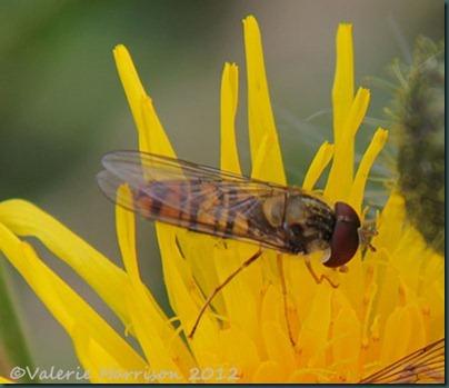22-marmalade-fly
