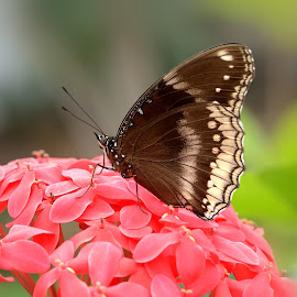 Butterfly by Bankim Desai - Animals Insects & Spiders ( butterfly, macro, micro, colors, narure )