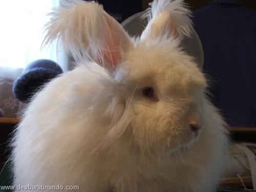 coelho angora peludo desbaratinando (12)