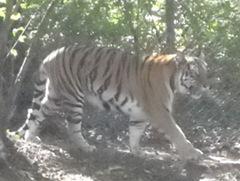 tigerzoo