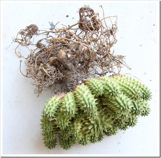 120309_Euphorbia-susannae_01
