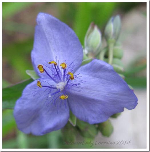 03-07-spiderwort