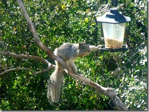 11 Rock squirrel at feeder Yarnell AZ (1024x768)