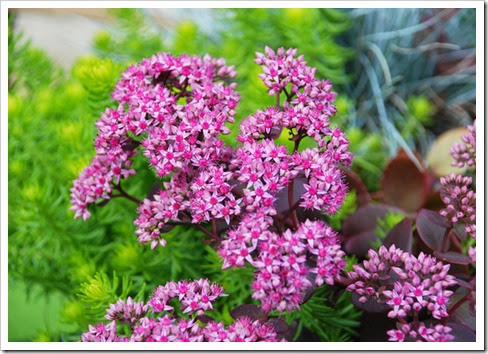 Sedum 'Cherry Tart' from Chris Hansen6
