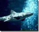 shark01_thumb