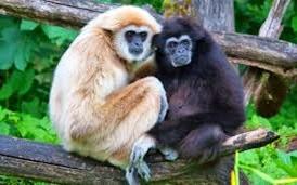 Amazing Pictures of Animals, Photo, Nature, Incredibel, Funny, Zoo, Gibbons, Hylobatidae, Primate, Mammals, Alex (9)
