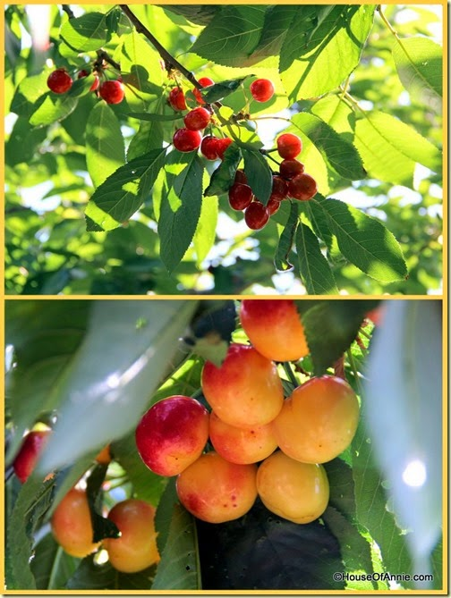 Ripe red and Rainier cherries, ready for the picking