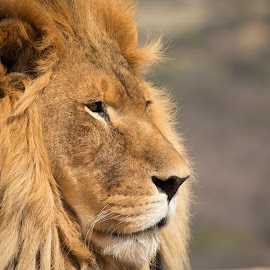 Lion by Gannon McGhee - Animals Lions, Tigers & Big Cats ( of, lion, park, arizona, wildlife, africa, out )
