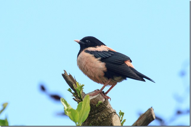 Wells_Rose-coloured_Starling-1