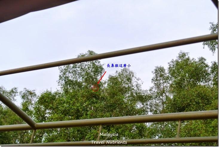 沙巴長鼻猴螢火蟲 (18)