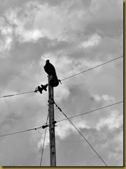 A golden eagle perches on a utility pole surveying the land, its home.