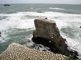 North Island - Gannet colony