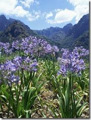agapanthus-flowers-near-serra-de-agua-madeira-portugal