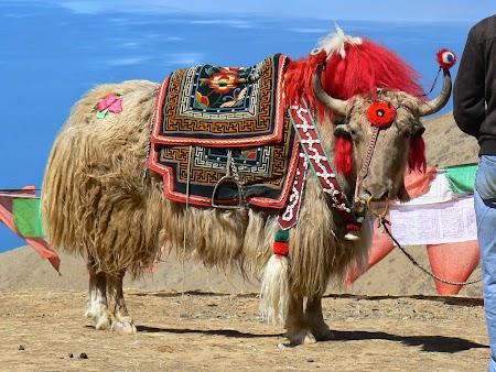 14. Yak tibetan.JPG
