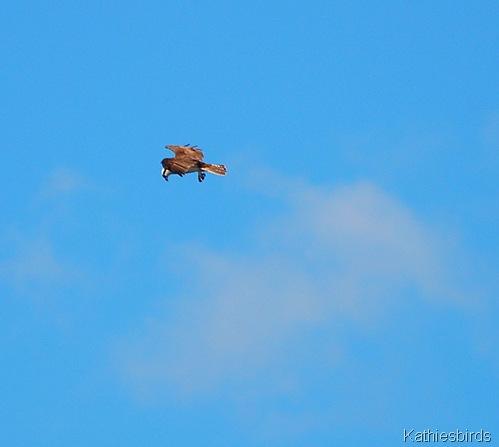 5. osprey-kab
